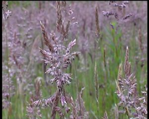 Meadow Grasses, native
